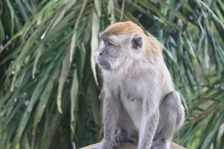 Monyet yang sedang Merenung