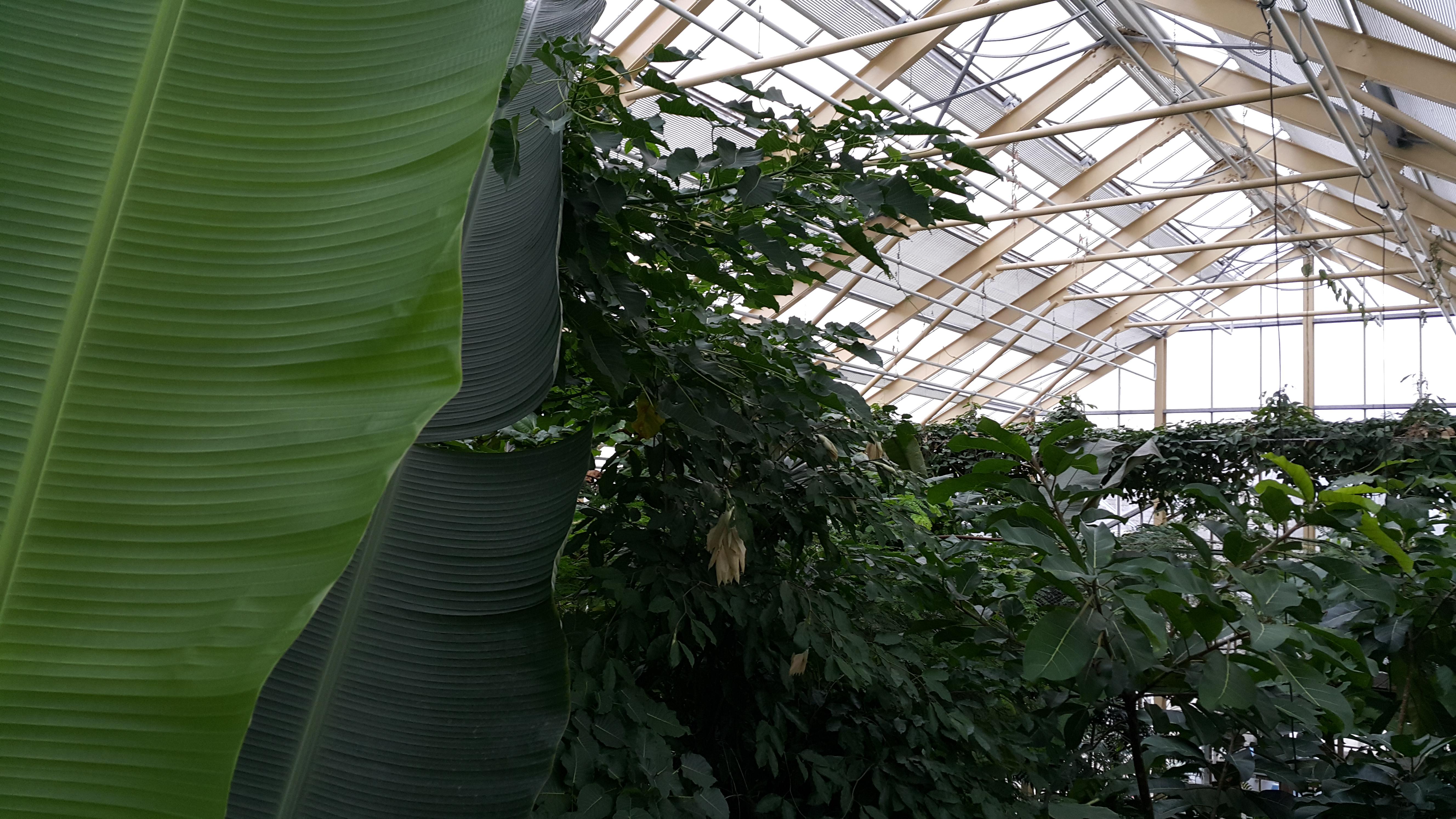Pisang dan tanaman tropis lainnya (dok. Bhermana)