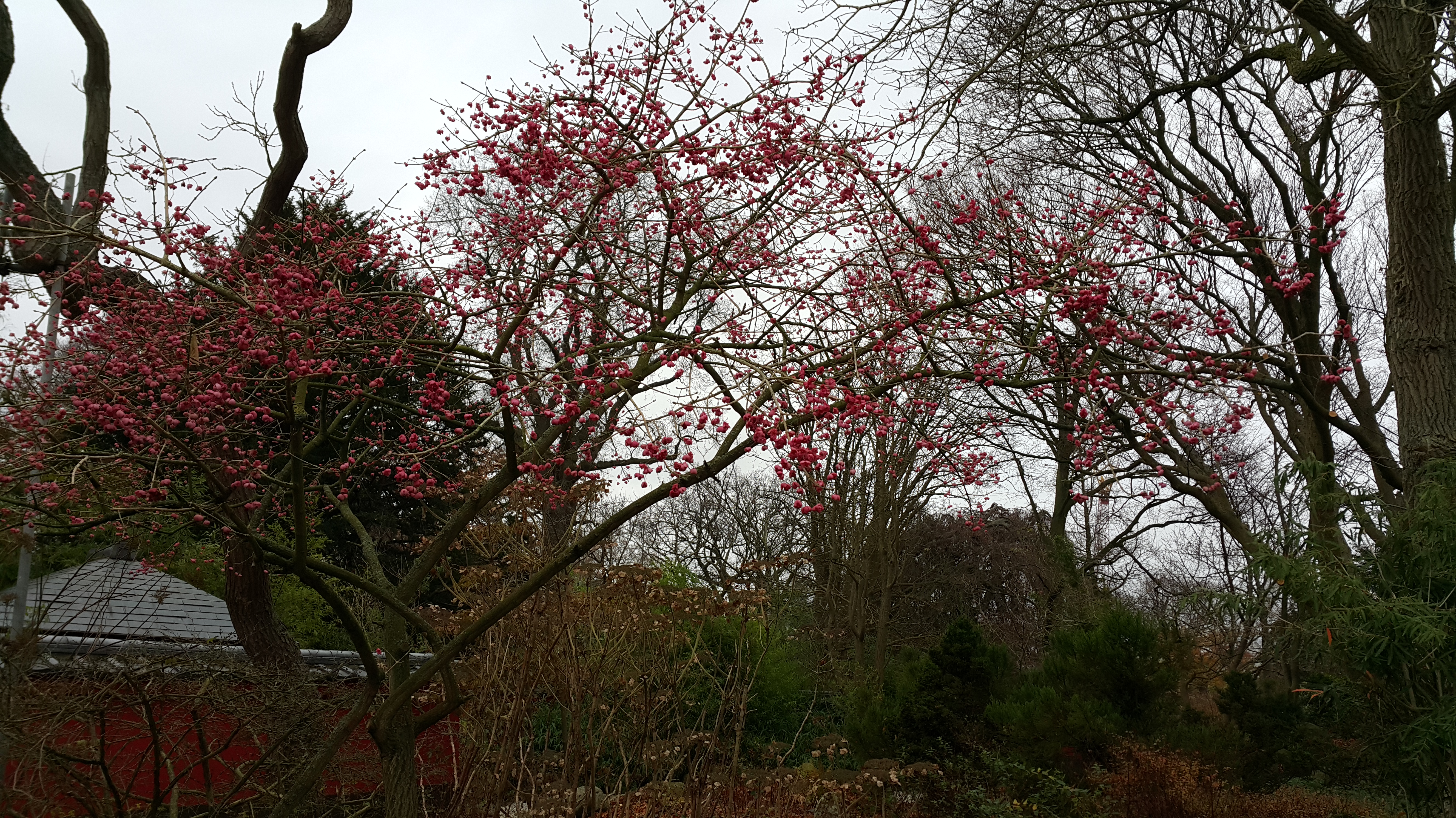 Bunga Sakura di Japaness Garden (dok. Bhermana)